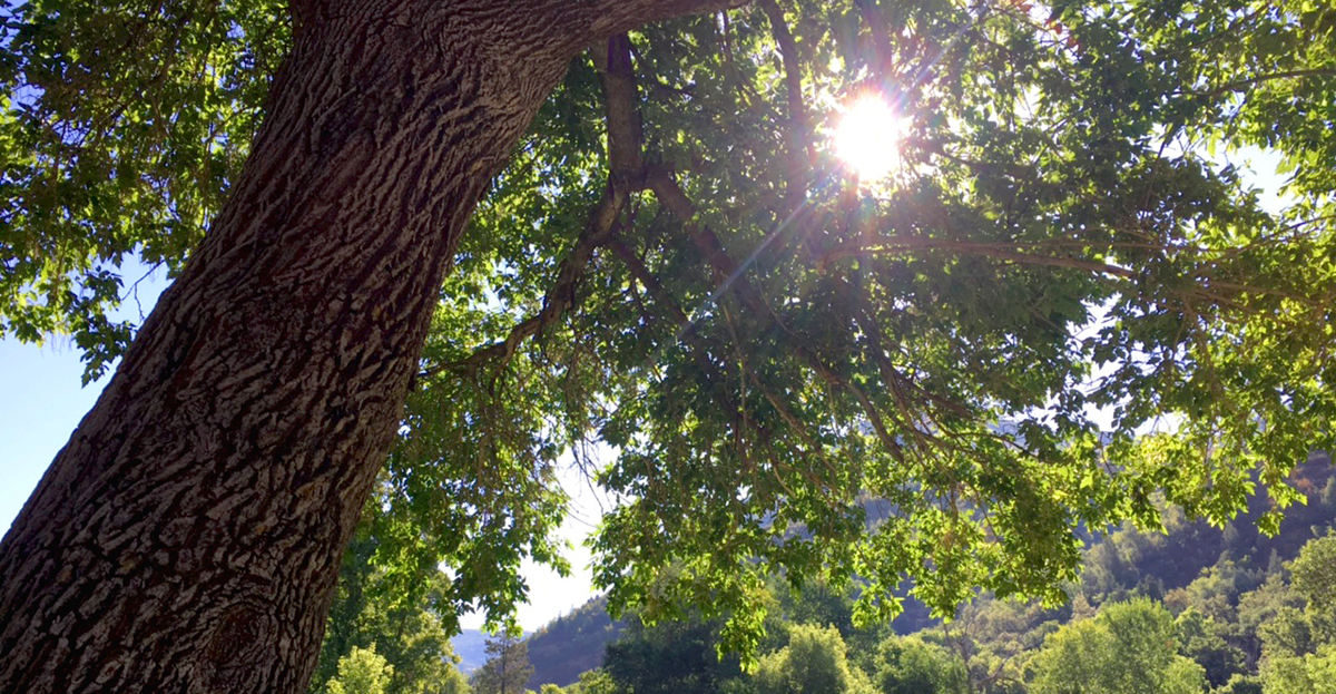 Sun Shining Through a Tree